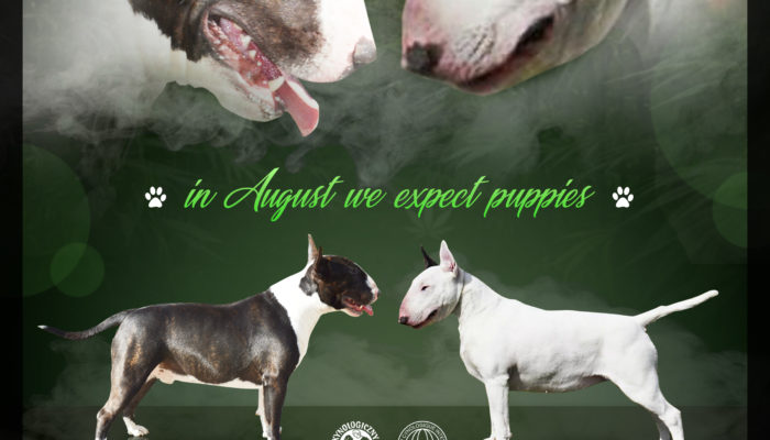 Hodowla Bulterier - W sierpniu spodziewamy się szczeniaczków!